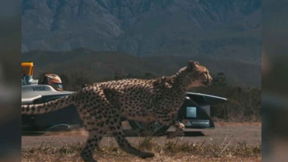 Electric  car , cheetah face off in race