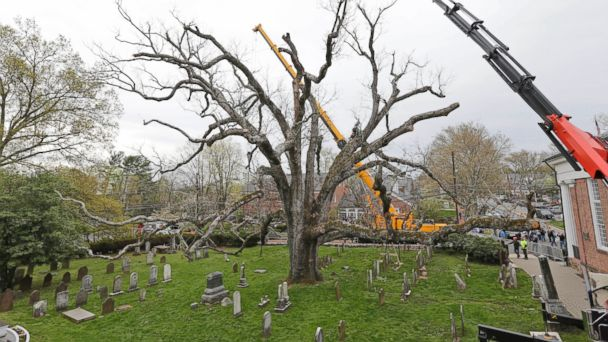 PHOTO: A large oak tree is surrounded by cranes during the process of its removal in Basking Ridge, N.J., on April 24, 2017.