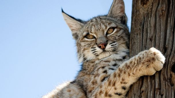 PHOTO: A small, likely juvenile, bobcat is perched on a power pole in a residential neighborhood of Victorville, Calif, on April 16, 2012.