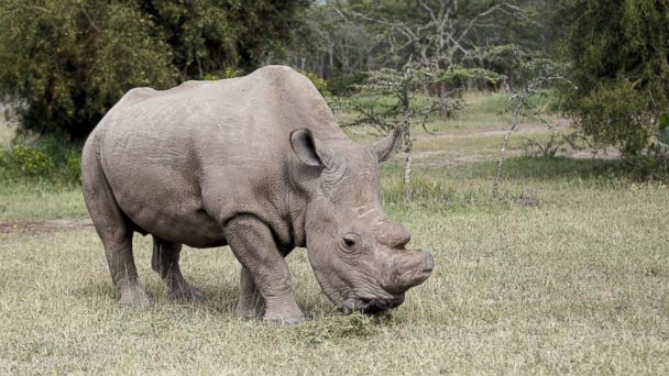 PHOTO: The last surviving male northern white rhino named 'Sudan' grazes at the Ol Pejeta Conservancy in Laikipia national park, Kenya June 14, 2015.