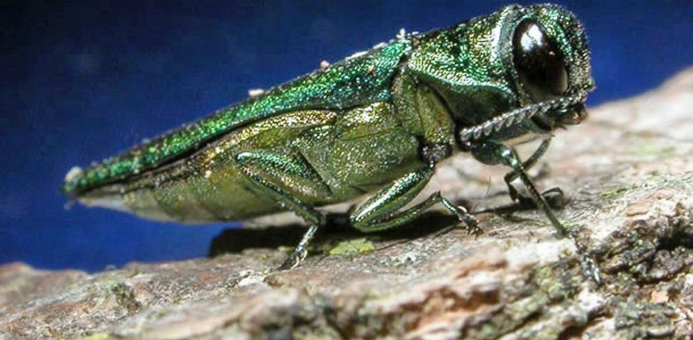 PHOTO: This undated file photo provided by the Minnesota Department of Natural Resources shows an adult emerald ash borer.