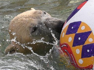 Photos: Nanuq the Polar Bear is Having a Ball