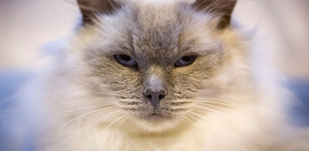 PHOTO: Beau Jangles, a cat being judged at the Supreme Championship Cat Show at the NEC Arena