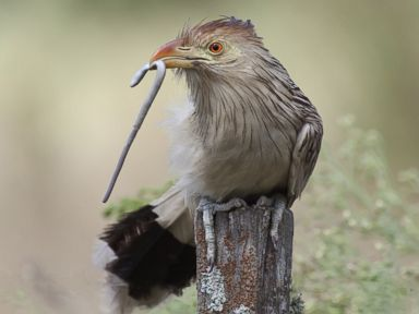 How the Cuckoo Wages an 'Evolutionary Arms Race'