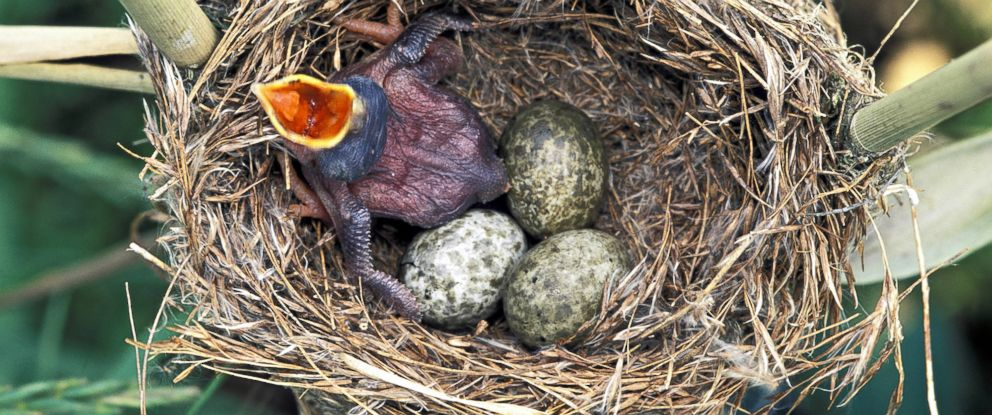 PHOTO: A common Cuckoo chick in Reed Wablers nest waits to be fed with its mouth wide open, in this undated file photo.