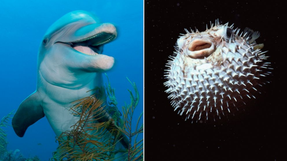 PHOTO: A new documentary on the BBC shows dolphins using pufferfish to get to a trance-like state.