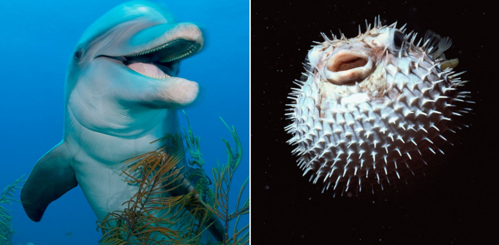 Dolphins can get high on puffer fish says nature show for What is a puffer fish