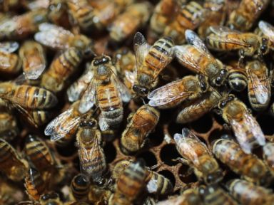 PHOTO: Honey bees are seen at the J & P Apiary and Gentzels Bees, Honey and Pollination Company, April 10, 2013 in Homestead, Fla.