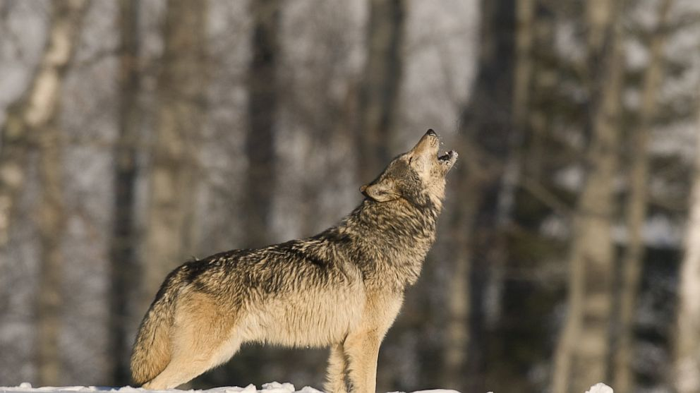 PHOTO: A lone wolf howls.