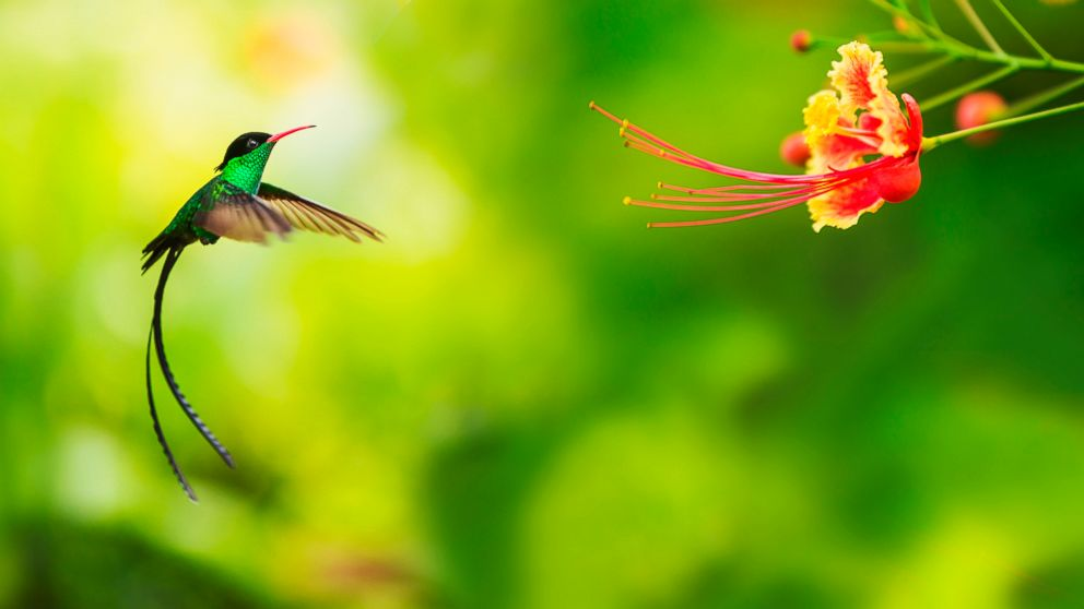 PHOTO: The tiny hummingbird has amazed, inspired and baffled scientists through the ages.