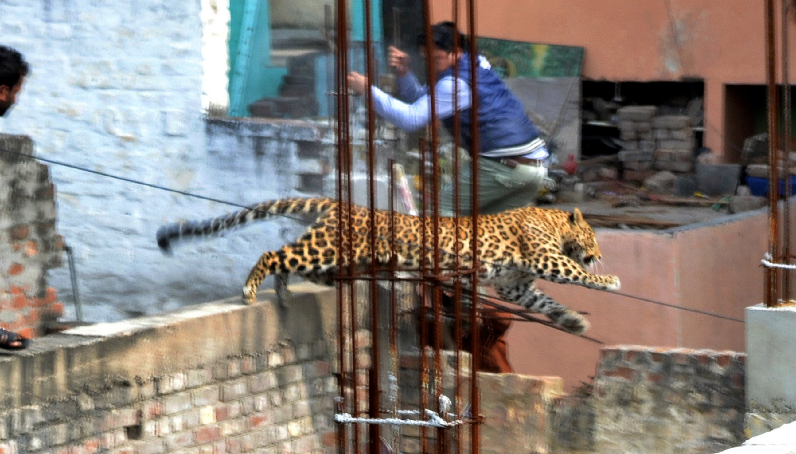 See this Leaping Leopard's High Wire Act