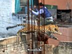 PHOTO: See this Leaping Leopard's High Wire Act