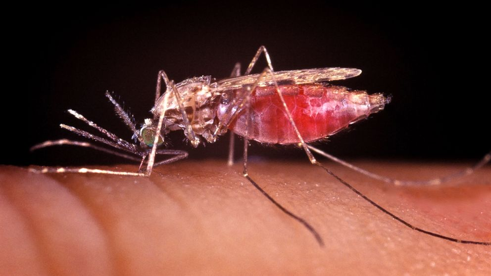 PHOTO: Anopheles gambiae, the mosquito that sucks blood out of other animals, including humans, carries the parasite that causes malaria.