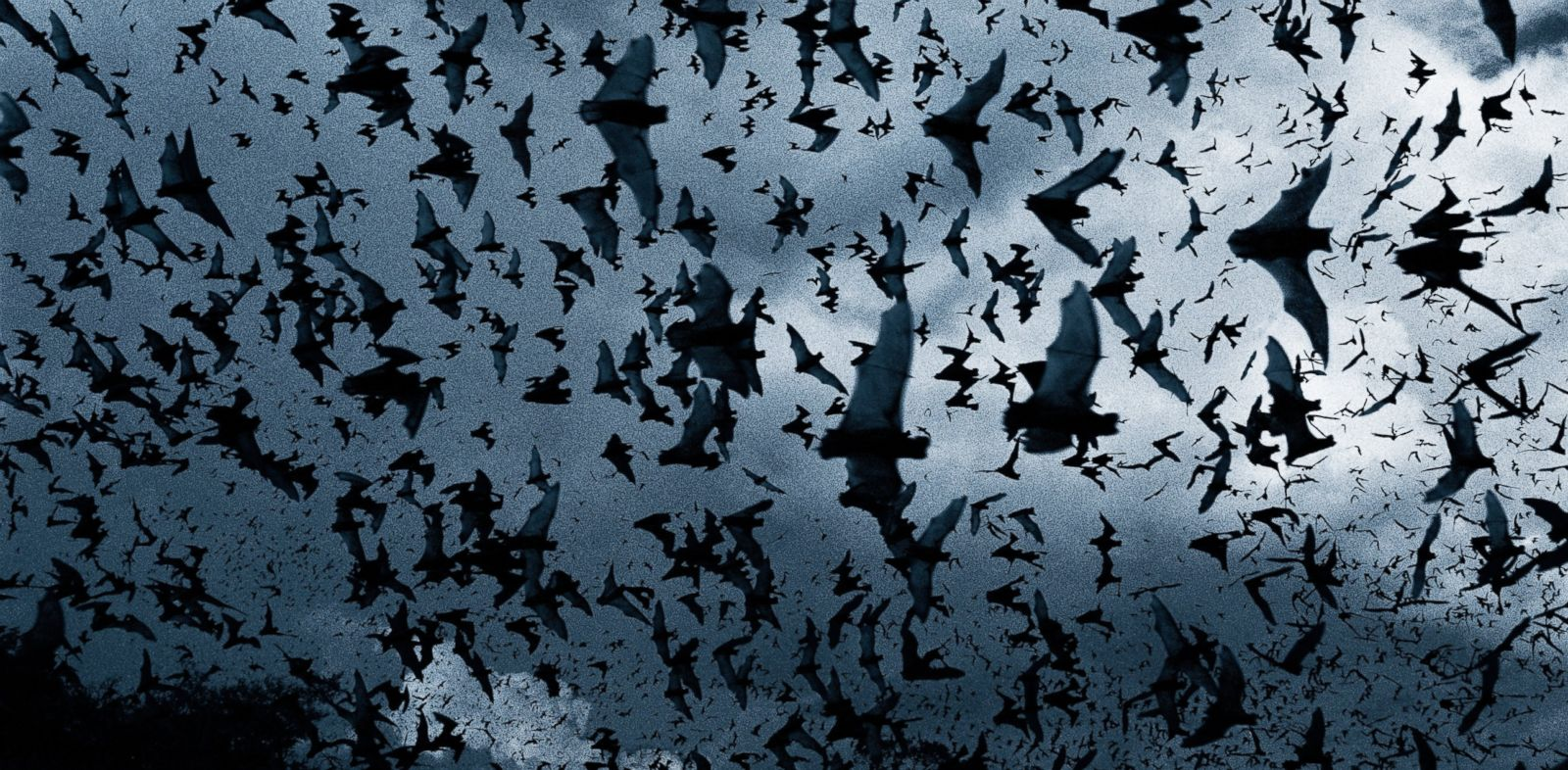 PHOTO: Bats are being killed by wind farms.