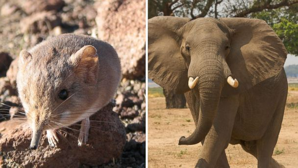 GTy Micus Elephant TG 140626 16x9 608 Newly Discovered Mouse Like Mammal and Elephants Are Long Lost Cousins