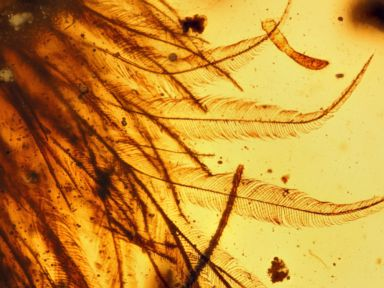 PHOTO: Researchers have discovered a dinosaur tail complete with its feathers trapped in a piece of amber.