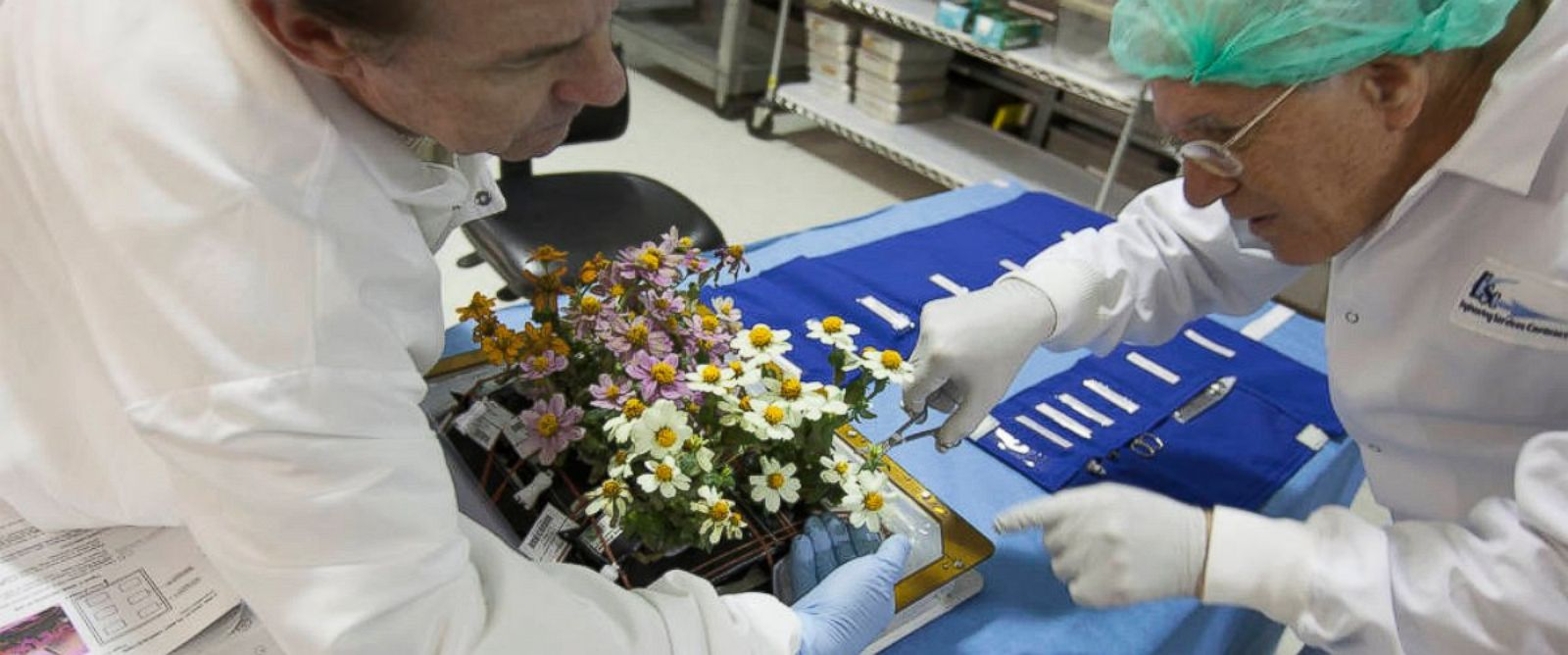 PHOTO: Zinnia plants from the Veggie ground control system are being harvested in the Flight Equipment Development Laboratory in the Space Station Processing Facility at NASA's Kennedy Space Center in Florida.
