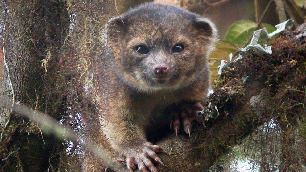 The olinguito is a newly identified species living in the Andes Mountains of South America.