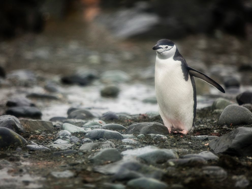 PHOTO: A Chinstrap Penguin is seen in Antartica.