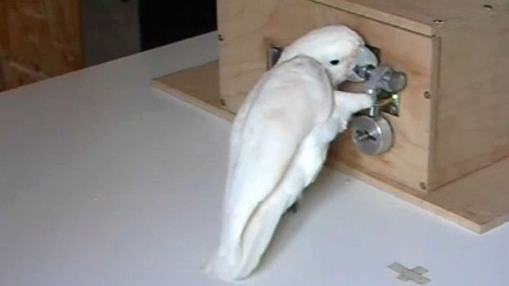 A cockatoo named