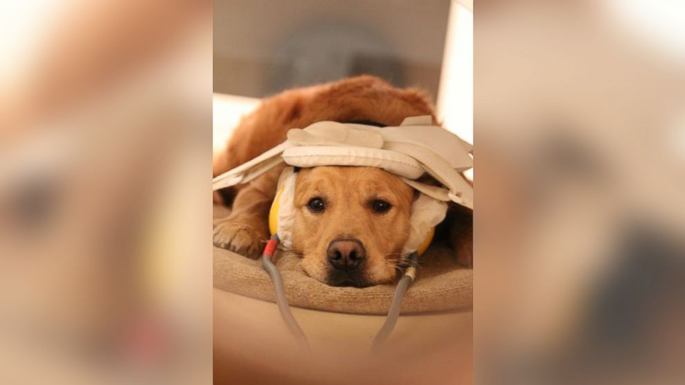 PHOTO: This is a dog in a brain scanner.