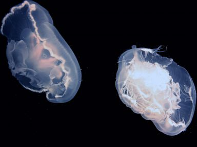 PHOTO: Moon jellyfish get an extra boost in their swimming for free.