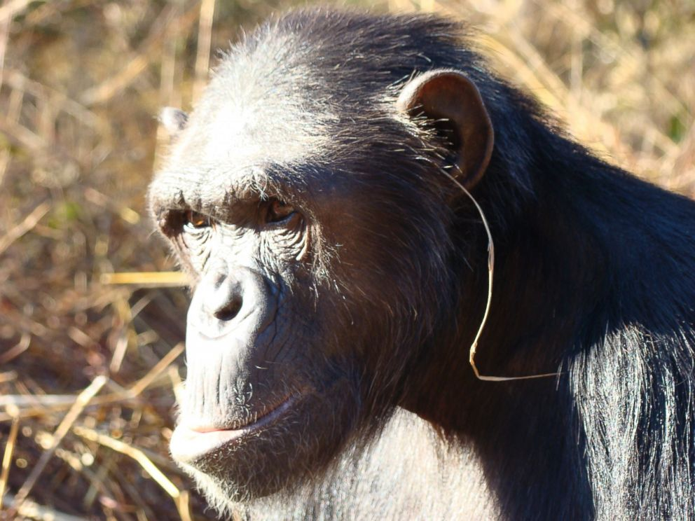 PHOTO: A chimpanzee named Julie at Zambias Chimfunshi Wildlife Orphanage Trust sanctuary, has launched her own line of jewelry, wearing a single blade of grass hanging from one ear.