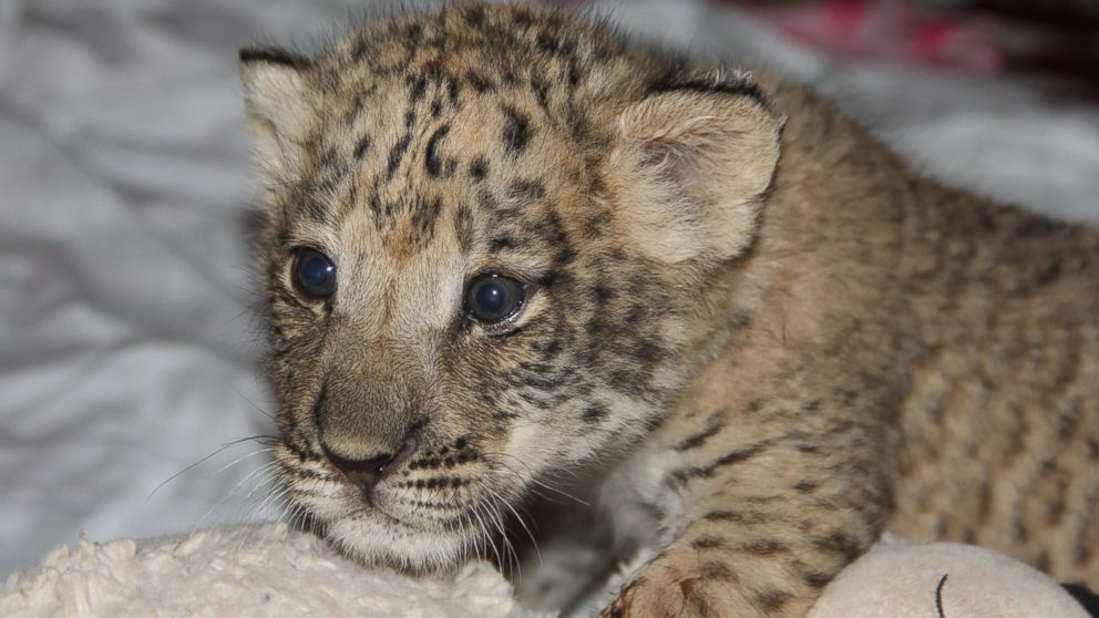 Oklahoma Zoo Home to America's First 'Liligers' - ABC News