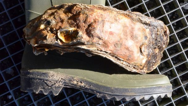 HT oyster boot jef 140225 16x9 608 Worlds Largest Oyster Is One Big Bivalve
