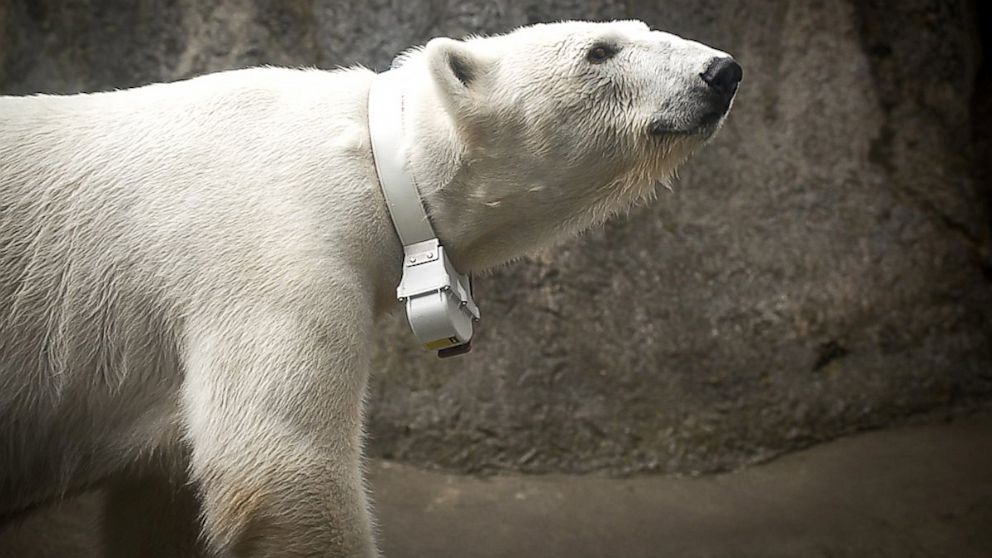 PHOTO: Polar Bear Tasul wears a collar d
