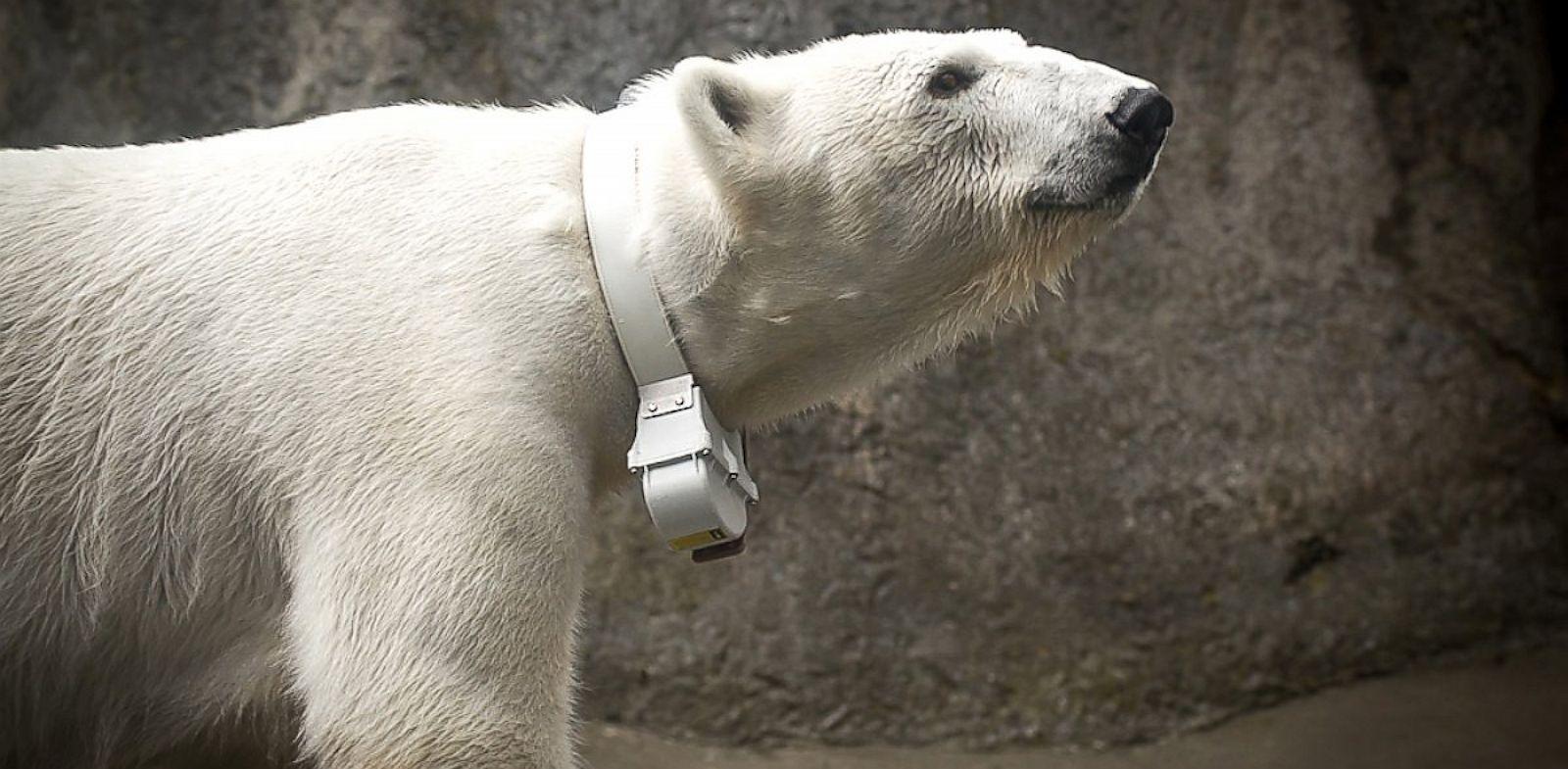 PHOTO: Polar Bear Tasul wears a collar designed to collect data for research.