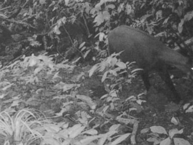PHOTO: A camera trap in Vietnam captured a photo of the saola, one of the rarest mammals in the world, in September.