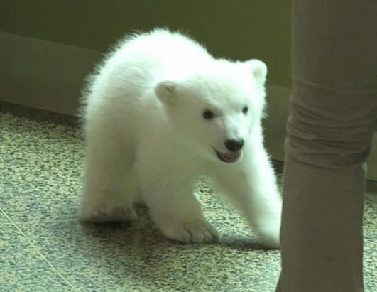 Luna, The Playful Polar Bear Cub