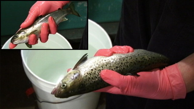 PHOTO: The small fish, inset, is a normal-sized 1-year-old Atlantic Salmon, the second most popular seafood in America. The larger fish is the same age, but at least three times larger.