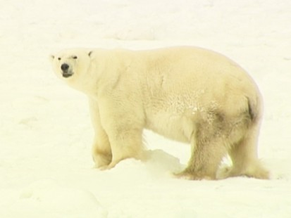 VIDEO: Melting arctic ice harms polar bears.
