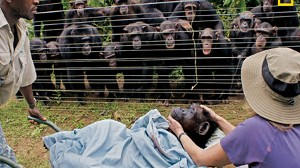 VIDEO: Chimpanzees in Cameroon grieve while watching a burial of one of their own.