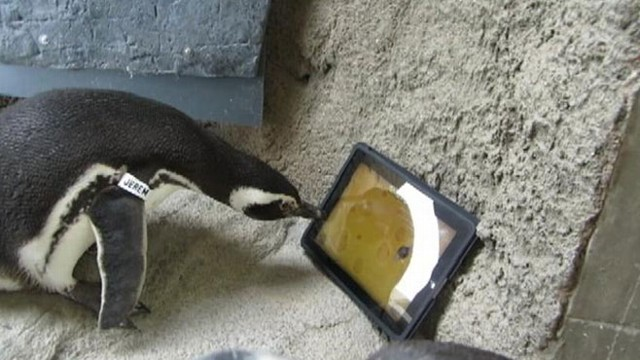 "VIDEO: Two penguins at the Aquarium of the Pacific peck at a virtual mouse on app called, ""Game for Cat."""