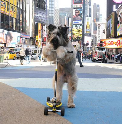 Scooter-Riding Dog in Times Square!