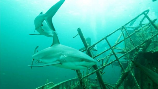 abc sharks mi 130805 16x9 608 Shark Week Researchers Dissect Rise of Attacks on Humans