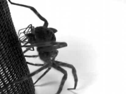 VIDEO: Study shows that male dark fishing spiders die after transferring their sperm to females.