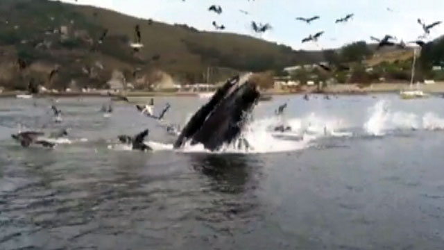 PHOTO: A small pod of humpback whales gave some onlookers quite a surprise this weekend along the coast of California.