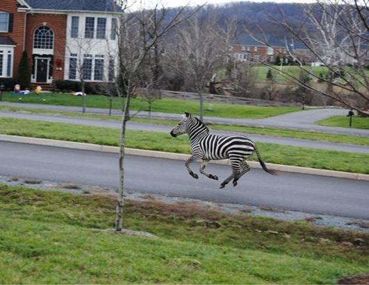 Two Zebras Roam the Suburbs