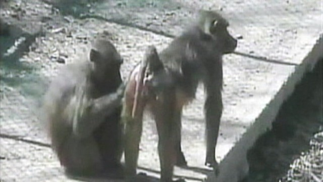 VIDEO: Baboons showed scientists they can recognize an English word.