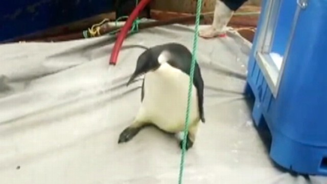 VIDEO: Signal from the wayward penguins tracking device has gone silent.