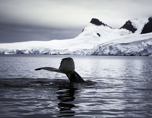 Photo: Whales in Antarctica.