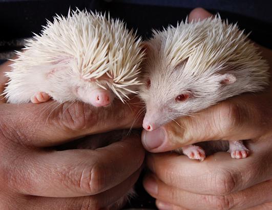 Rare Albino Hedgehogs