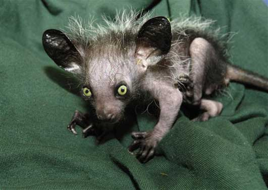 this is the first captive bred aye aye to be born in the united    Ugliest Animals In The World
