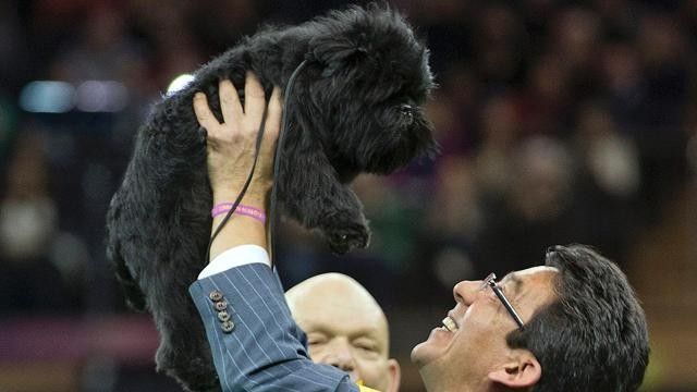 2013 Westminster Dog Show: Who Will the Winner Be?