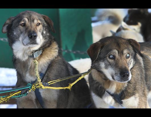 Gonzo, Blind Sled Dog Gets Help From Brother Poncho