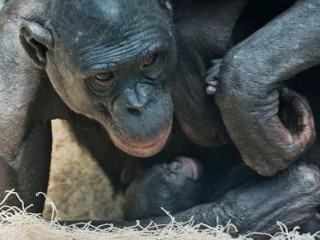 Photos: Baby Bonobo Makes Debut